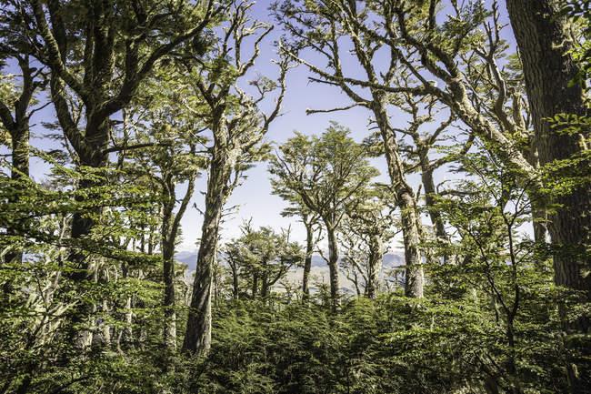 Vista della foresta, Riserva Nazionale di Coyhaique, Provincia di Coyhaique, Cile — Foto stock