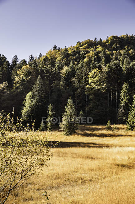 Золотому полі і лісових краєвид, Баварія, Німеччина — стокове фото