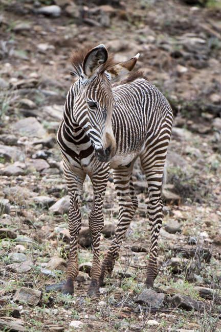 Grevy Зебра стояння в в Самбур Національний парк, Кенія — стокове фото
