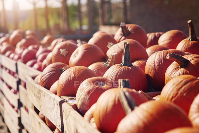 Крупный план сбора тыквы на ферме, селективное фокусирование — стоковое фото
