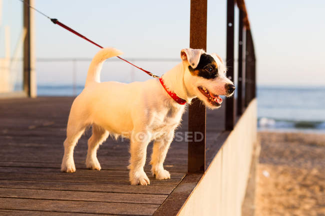 Russell jack on leash at beach looking away, Lisbon, Portugal, Europe — Stock Photo