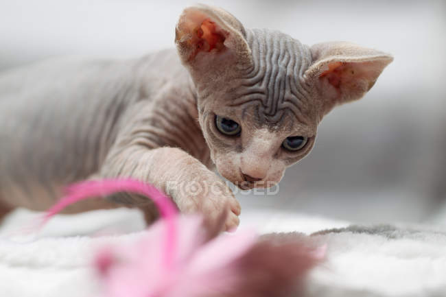 Sphynx cat playing with cat toy — Stock Photo