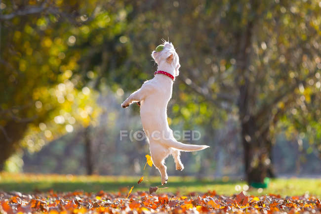 Jack russell playing in park in Autumn — Stock Photo