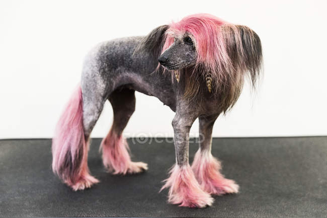 Animal portrait of groomed dog with dyed shaved fur, looking away — Stock Photo