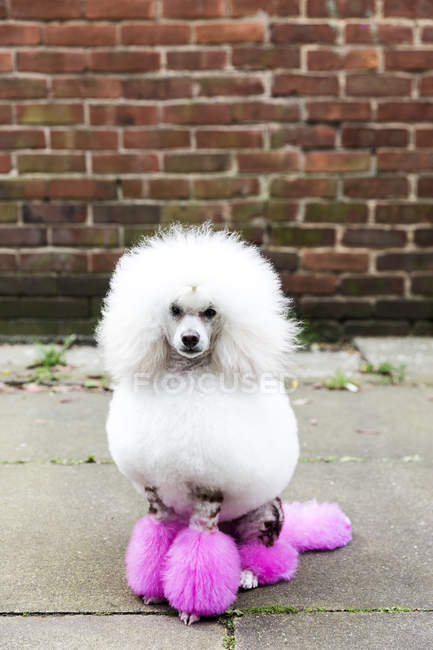 Животный портрет забавной ухоженной собаки с окрашенным мехом, смотрящей в камеру на улице — стоковое фото