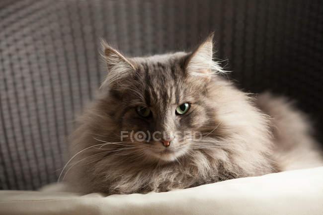 Портрет животного норвежского лесного кота, смотрящего в камеру — стоковое фото