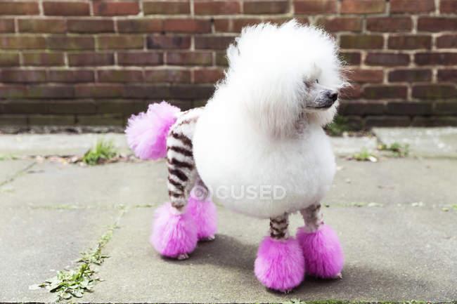 Животный портрет забавной ухоженной собаки с окрашенным мехом, отводящей взгляд — стоковое фото