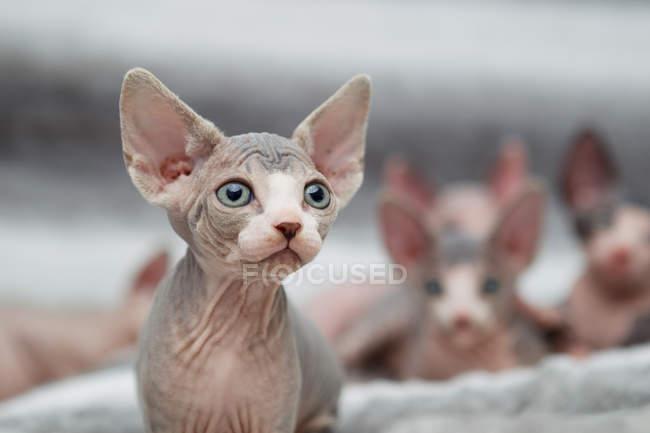 Animal portrait of sphynx cat looking away — Stock Photo