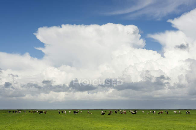 Mucche al pascolo in pascolo, nuvole pluviali in alto, Workum, Frisia, Paesi Bassi, Europa — Foto stock