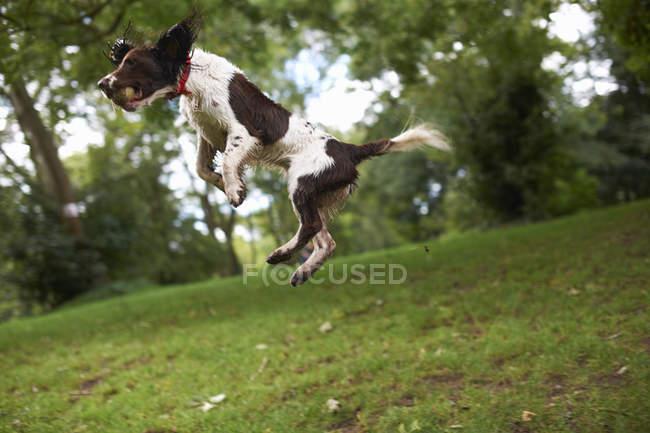 Saut de chien en plein air — Photo de stock