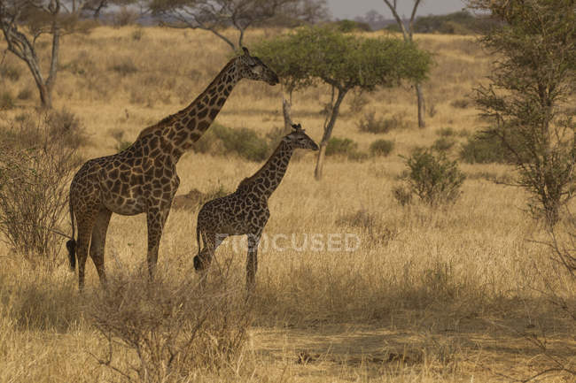 Side view of two giraffes walking on grass — Stock Photo
