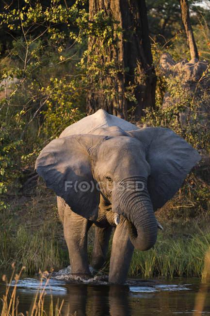 Африканський слон, ходьба у воді в Дельта Окаванго, Ботсвани — стокове фото
