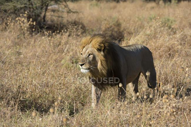 Leão andando na grama e olhando para longe em Savuti, Parque Nacional de Chobe, Botswana — Fotografia de Stock