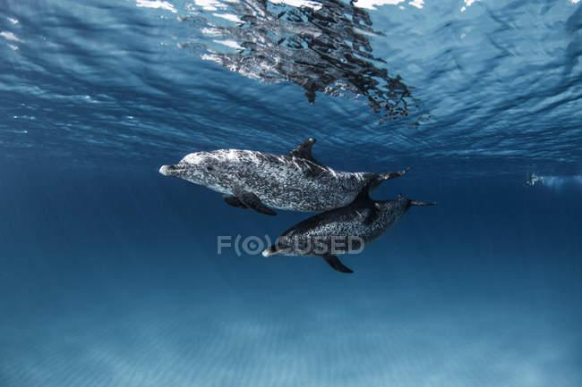 Due bellissimi delfini che nuotano sott'acqua nel mare azzurro — Foto stock