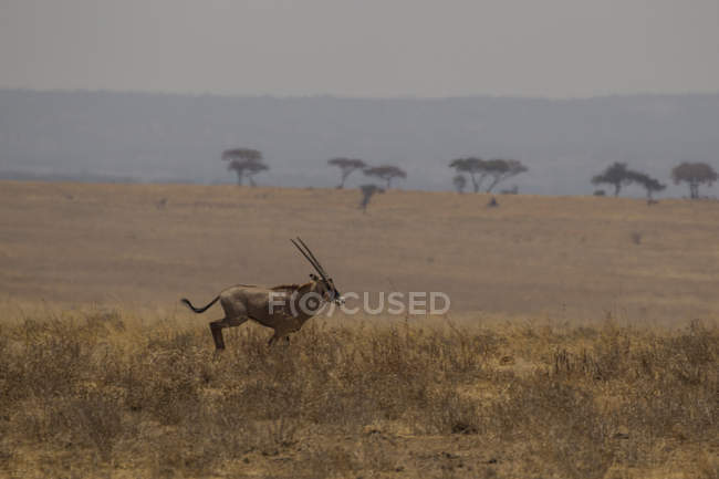 Oryx, Oryx beisa, Tarangire National Park, Tanzania — Stock Photo