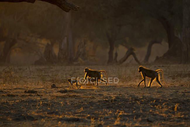 Вид сбоку на бабуинов, идущих по земле во время заката — стоковое фото