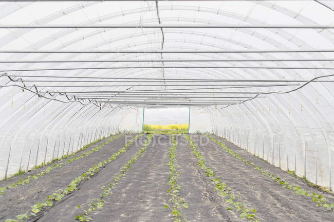 Rows of plants in polytunnel — Stock Photo