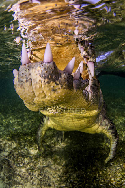 Nahaufnahme der Kiefer von Krokodilen, die unter Wasser schwimmen — Stockfoto