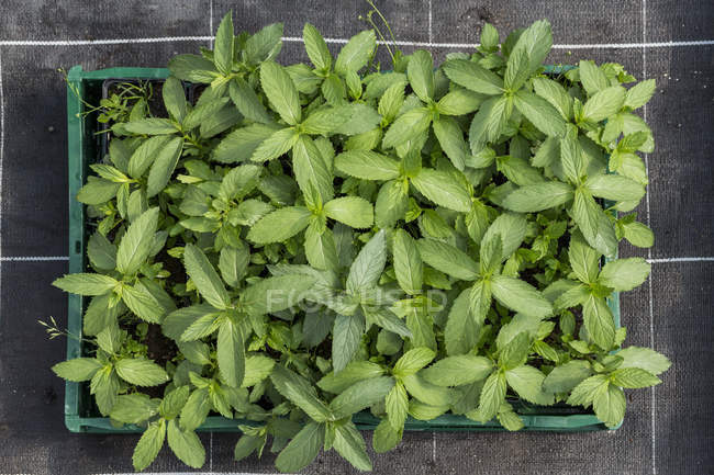Overhead view of potted plants in tray — Stock Photo