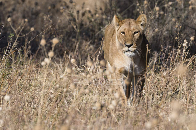 Lion walking in grass in Savuti, Chobe National Park, Botswana — Stock Photo