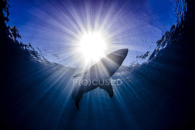 Low angle view of shark swimming in sea under sun rays, guadalupe island — Stock Photo