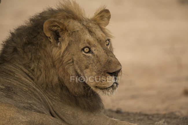 Un bel leone che riposa sulla terra nelle piscine mana zimbabwe — Foto stock