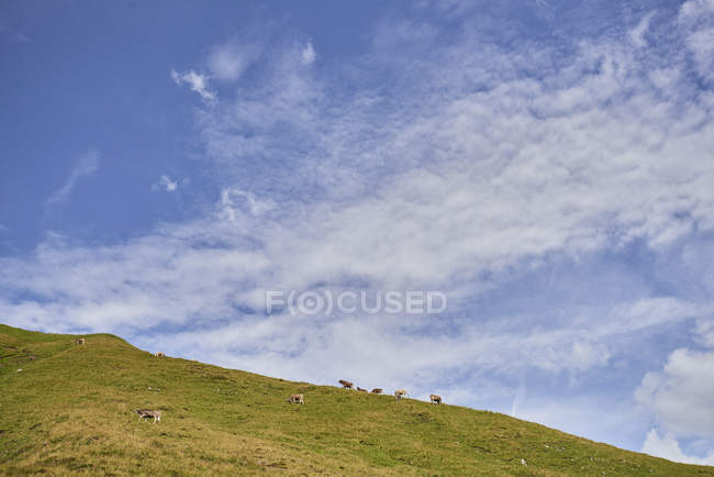Distant view of cows on hillside in Tannheim mountains, Tyrol, Austria — Stock Photo