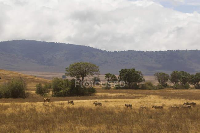 Lion fierté marche sur le terrain dans la zone de conservation de Ngorongoro, tanzanie — Photo de stock
