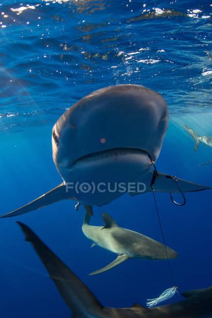 Unterwasser-Ansicht von Haien, Revillagigedo, Tamaulipas, Mexiko, Nordamerika — Stockfoto