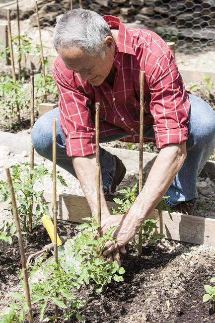 Uomo maggiore piantare piantine di pomodoro — Foto stock