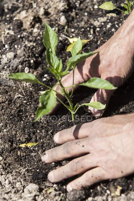 Homem, plantio de mudas, foco diferencial — Fotografia de Stock
