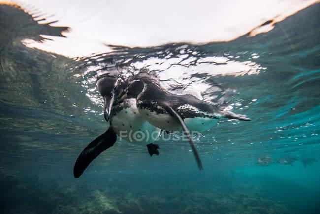Pingouins Galapagos socialisation, Seymour, Galapagos, Équateur — Photo de stock