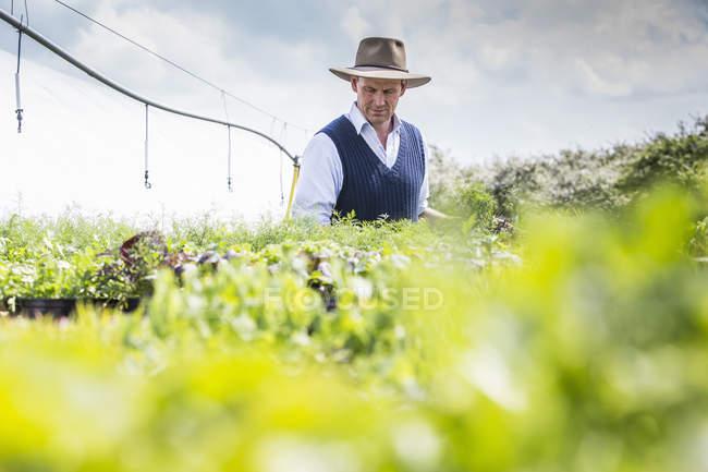 Mature farmer harvesting green plants — Stock Photo