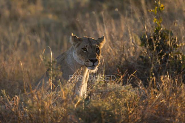 Лев сидить в траві під час заходу сонця у Khwai галузі збереження, Окаванго, Ботсвана — стокове фото