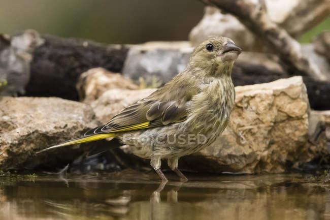 Зменшеному вигляді гарний маленький greenfinch птах в диких тварин — стокове фото