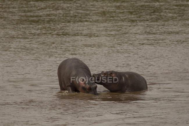 Hippopotame, Hippopotamus amphibius, rivière Mara, Serengeti National Park, Tanzanie — Photo de stock