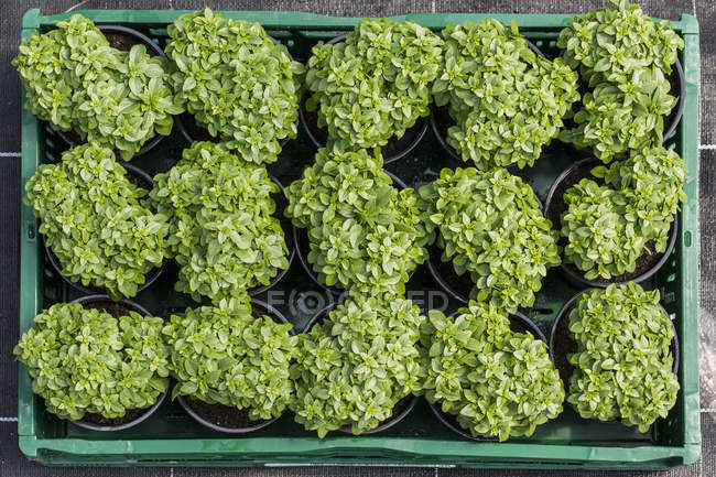 Top view of beautiful green potted plants in tray — Stock Photo