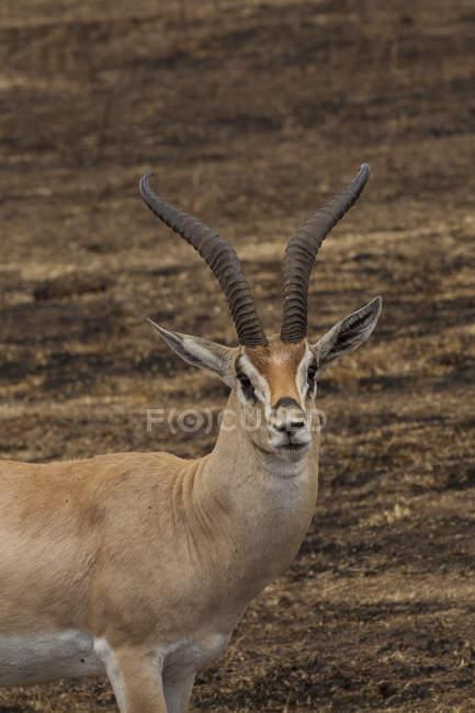 Gazelle de Thomson, Eudorcus thomsonii, cratère Ngorogoro, Tanzanie — Photo de stock