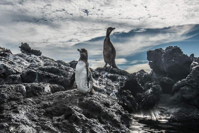 Galapagos-Pinguin und flugunfähiger Kormoran ruhen auf Felsen, Seymour, Galapagos, Ecuador — Stockfoto