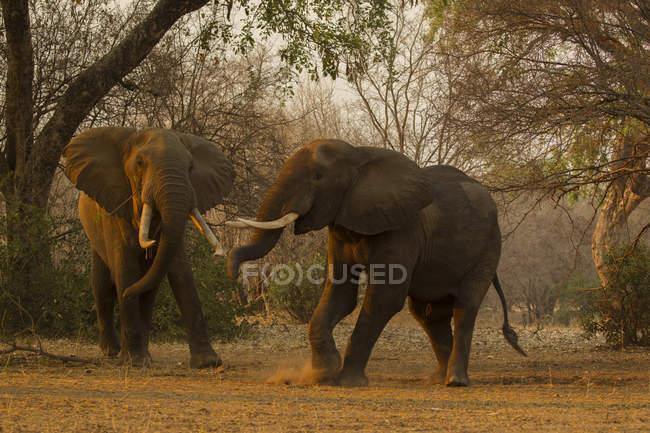 Два слона ходить рядом с деревьями в бассейнах Нана национальный парк, Зимбабве — стоковое фото