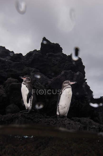 Galapagos Pingouins reposant sur des rochers, Seymour, Galapagos, Équateur — Photo de stock
