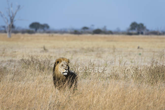 Lion regardant loin dans l'herbe Savuti, Parc National du Chobe, Botswana — Photo de stock