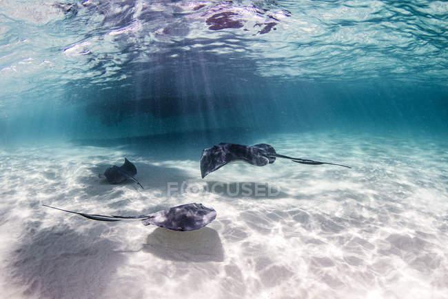 Rayos nadando cerca del fondo del mar - foto de stock