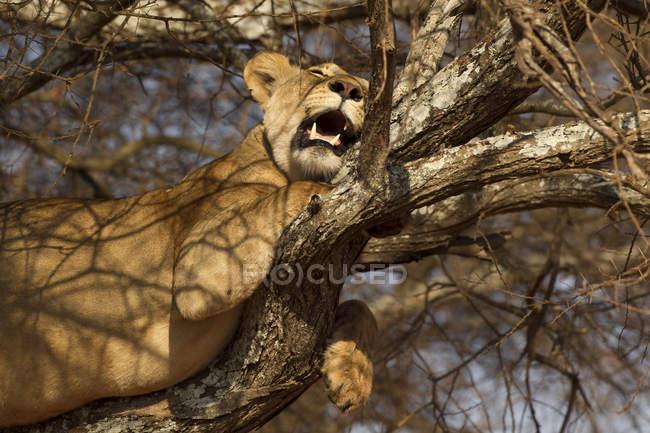 Один прекрасний Лев лежачи на дерева, заповідник tarangire, Танзанія — стокове фото