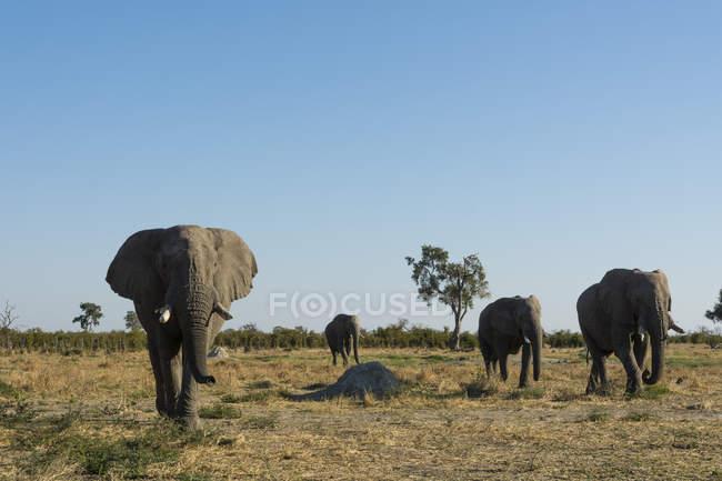 Elefantes africanos andando em Savuti, Parque Nacional de Chobe, Botswana — Fotografia de Stock