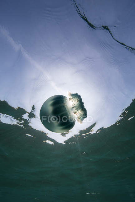 Cannonball jellyfish in ocean, underwater view, La Paz, Baja California Sur, Mexico, North America — Stock Photo