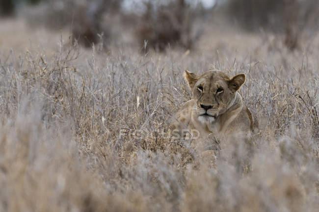 Один Лев, лежащий в сухой траве в Тсаво, Кения — стоковое фото
