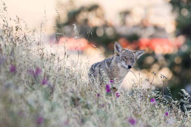 Coyote at Bernal Heights, San Francisco, California, United States, North America — Stock Photo