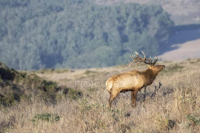Тулі лося buck (олень nannodes canadensis) на схилі пагорба, точка Рейес Національний Приморський, Каліфорнія, США — стокове фото