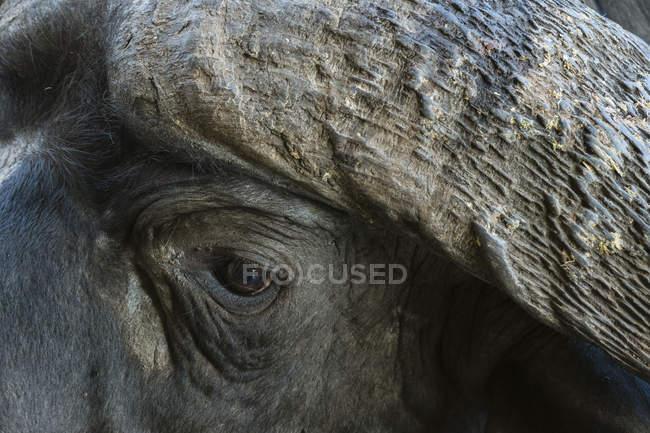 Immagine ritagliata di bufalo africano, Tsavo, Kenya — Foto stock